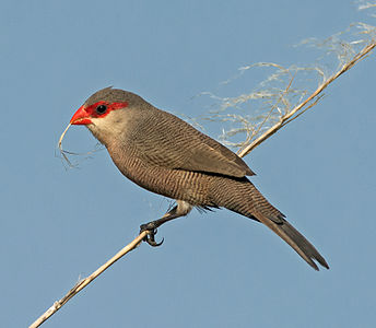 An adult Common Waxbill on Gran Canaria, Spain.