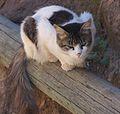 Ethiopian Cat (2060482953).jpg