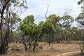 Eucalyptus leptophylla (32594780246).jpg