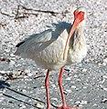 Eudocimus albus (American white ibis) (Sanibel Island, Florida, USA) 6.jpg