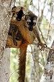 Eulemur rufifrons Kirindy Madagascar.jpg