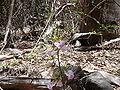 Eulophia guineensis 0003.jpg