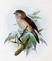 Euodice malabarica 1876.jpg