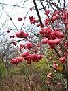Euonymus atropurpureus fruit