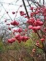 Euonymus atropurpureus fruit.jpg