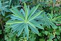 Euphorbia aux Jardins de Bagatelle.JPG