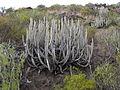 Euphorbia canariensis por Scott Zona 003.jpg