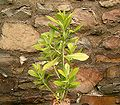 Euphorbia cupularis1.jpg