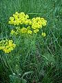 Euphorbia cyparissias by Danny S. - 001.JPG