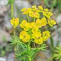 Euphorbia cyparissias in Avoriaz (1).jpg
