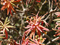 Euphorbia dendroides (fruits).jpg