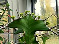 Euphorbia grandicornis (4).jpg