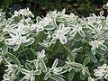 Euphorbia marginata Icicle (9551614789).jpg
