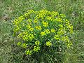 Euphorbia seguieriana sl4.jpg