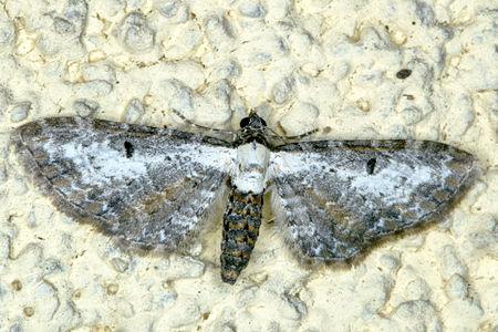 Eupithecia succenturiata, Lodz(Poland)01(js).jpg