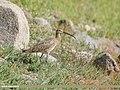 Eurasian Curlew (Numenius arquata).jpg