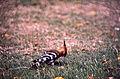 Eurasian Hoopoe (Upupa epops) (19639468113).jpg