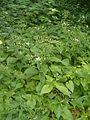 Eurybia divaricata Aster divaricatus BotGardBln07122011D.JPG