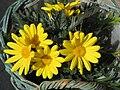 Euryops chrysanthemoides.jpg