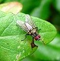 Eustalomyia festiva. Anthomyiidae - Flickr - gailhampshire (1).jpg