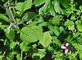 Evans Creek Preserve - 087A - bee in flower (27128471270).jpg
