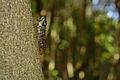 Evening cicada, male (9653344225).jpg