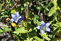 Explorer gentian pair close Ediza.jpg