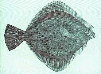 Rhombosoleidae - Rhombosolea plebela