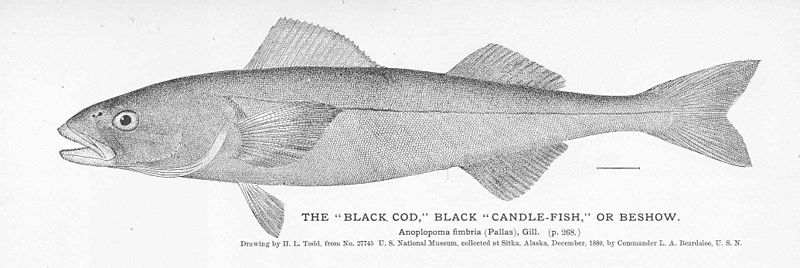 "File:FMIB 50933 ""Black Cod"" Black ""Candle-Fish"" or Beshow.jpeg"
