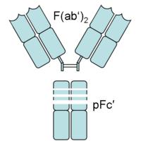 Fragment crystallizable region - Wikipedia