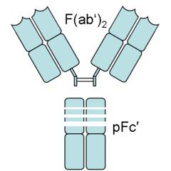 Fragment antigen-binding - Wikiwand