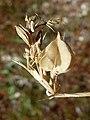 Fagoniacretica-2.jpg