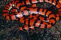 False Coral Snake (Anilius scytale) (14112604251).jpg