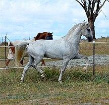 Favory Pallavicina, Lipizzan Stallion.jpg