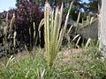 Feathertop Rhodes Grass (3211537962).jpg