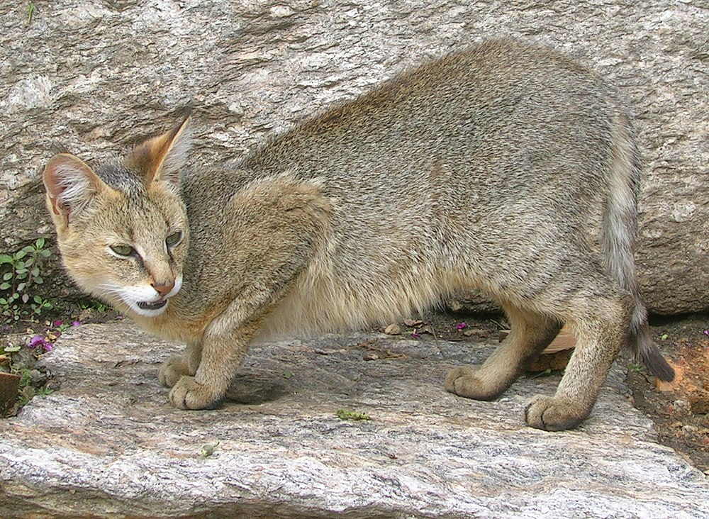 The average litter size of a Jungle cat is 2