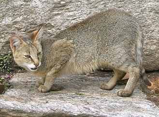 Felis - F. chaus: a jungle cat in India