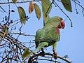 Female Alexandrine Parakeet on a Kachnar Tree 01.jpg