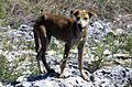 Feral Dog (cropped).jpg
