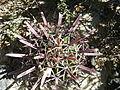 Ferocactus recurvus (5753762167).jpg