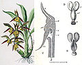 Fertilisation of Orchids figure 29d.jpg