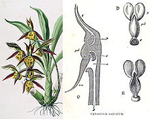 plant with thick green leaves and yellow and brown flowers, next to drawing showing a section through a flower