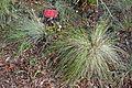 Festuca californica - Regional Parks Botanic Garden, Berkeley, CA - DSC04409.JPG