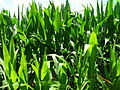 Field of Corn in Goodrich Michigan.JPG