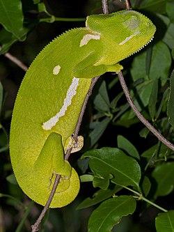 Flap-neck Chameleon (Chamaeleo dilepis) sleeping (11966856964).jpg