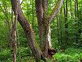 Flickr - Nicholas T - Old Loggers Path (5).jpg