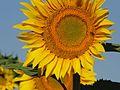 Flor de Girassol.jpg