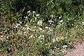 Flora della Sardegna 247 (14).jpg