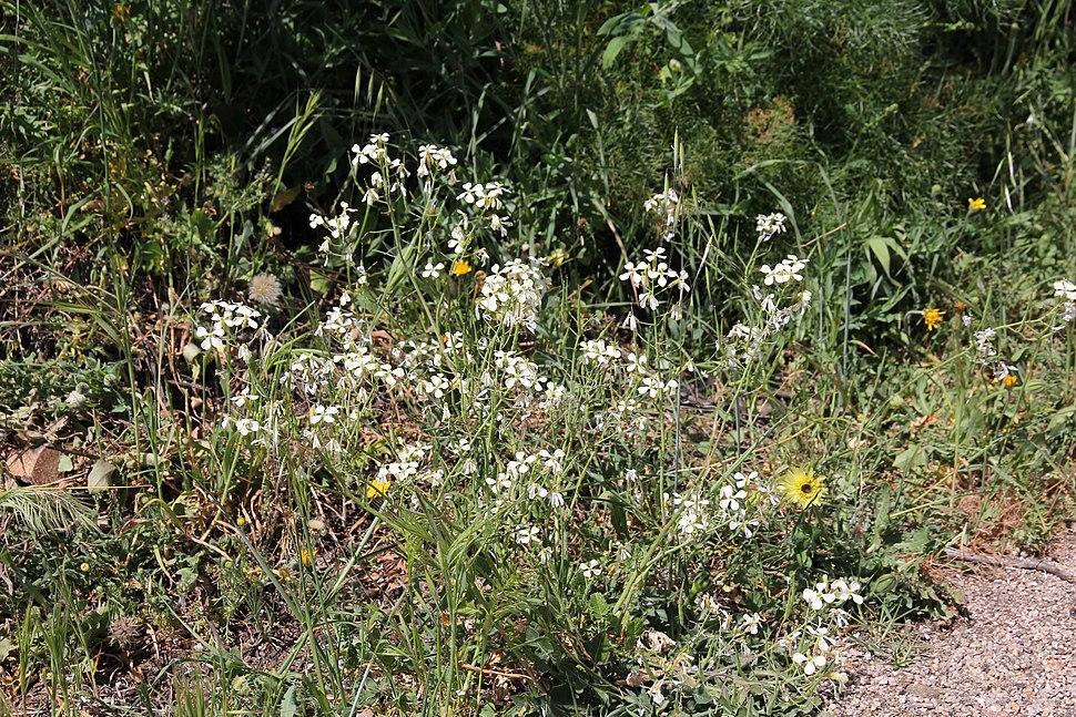 Flora della Sardegna 247 (14)