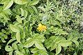 Flora of Yercaud 0304.jpg